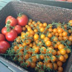 Tomato harvest basket